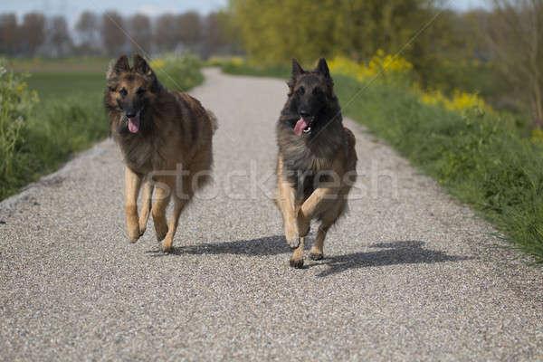 Twee honden lopen buiten gelukkig Stockfoto © AvHeertum