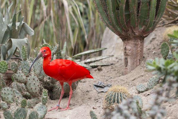 Rood water vogel benen park cactus Stockfoto © AvHeertum
