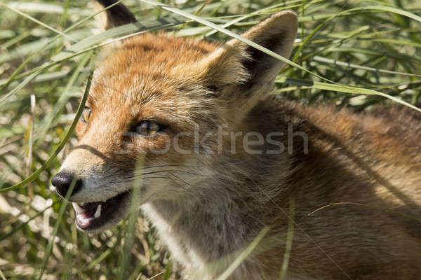 Rood vos hoofd textuur ogen Stockfoto © AvHeertum