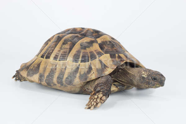 Greek land tortoise, Testudo Hermanni Stock photo © AvHeertum