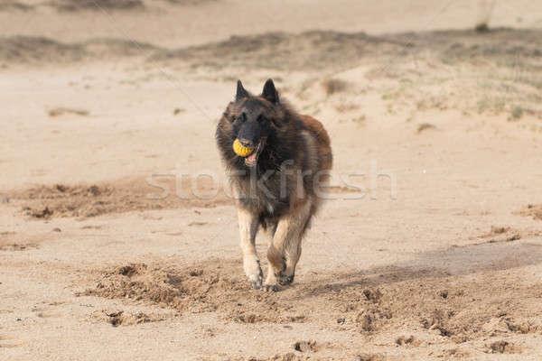 Pastore belga cane esecuzione sabbia capelli ritratto Foto d'archivio © AvHeertum