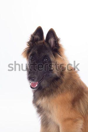 Belgian Shepherd Tervuren dog puppy, six months old, headshot, w Stock photo © AvHeertum
