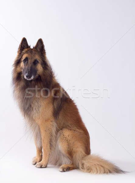 Hond vergadering studio geïsoleerd portret donkere Stockfoto © AvHeertum