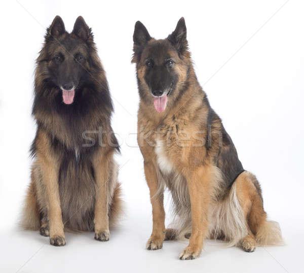 Two dogs, Belgian Shepherd Tervuren, sitting, isolated Stock photo © AvHeertum