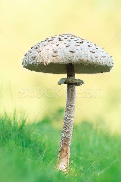 Champignon macro voedsel gras diner Stockfoto © AvHeertum