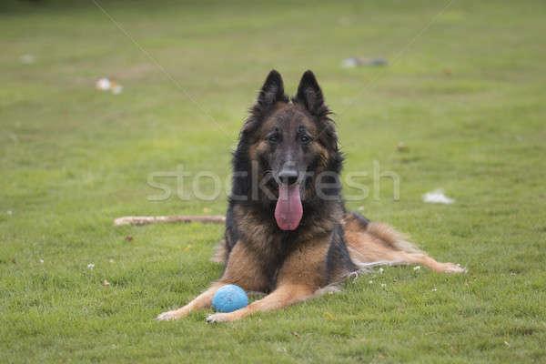 Köpek saç çalışma ağız top Stok fotoğraf © AvHeertum