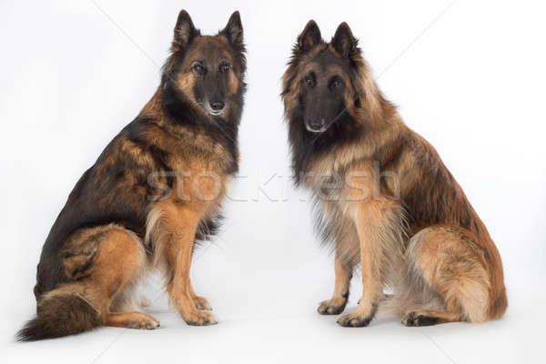 Due cani pastore belga isolato seduta bianco Foto d'archivio © AvHeertum