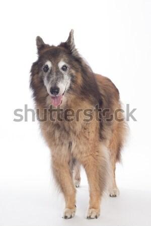 Köpek oturma yalıtılmış beyaz saç Stok fotoğraf © AvHeertum