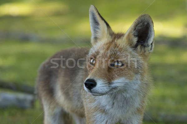 Kırmızı tilki kafa gözler doğa Stok fotoğraf © AvHeertum