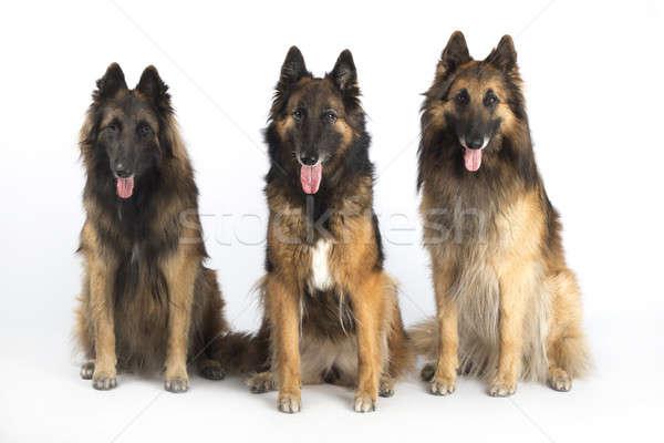 Tre cani pastore belga seduta isolato bianco Foto d'archivio © AvHeertum
