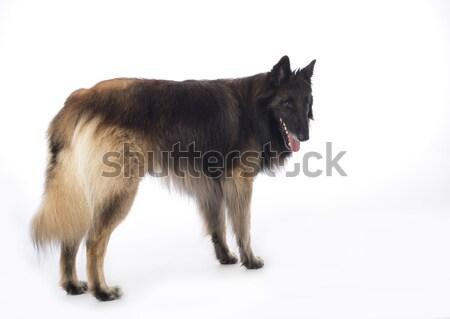 Stok fotoğraf: Köpek · ayakta · beyaz · stüdyo · saç