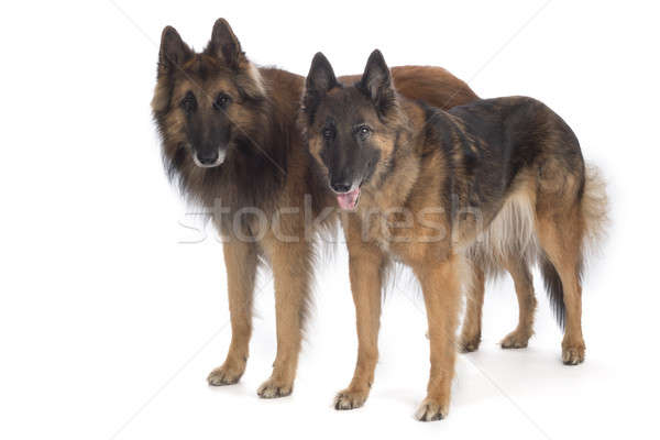 Two dogs, Belgian Shepherd Tervuren, standing, isolated Stock photo © AvHeertum