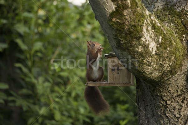 Kırmızı sincap yeme oturma ağaç ahşap Stok fotoğraf © AvHeertum
