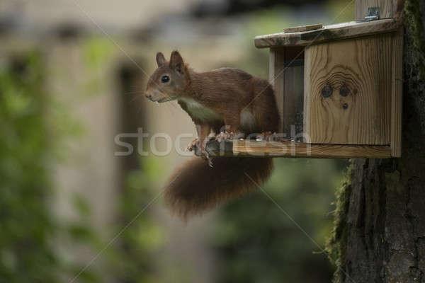 Rouge écureuil séance arbre bois nature Photo stock © AvHeertum
