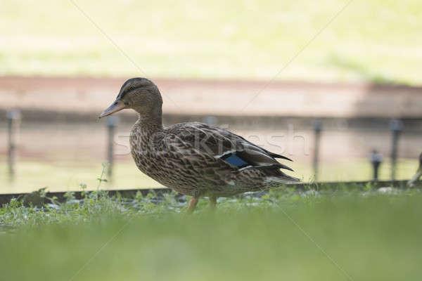 Wild eend vrouwelijke natuur vogel groene Stockfoto © AvHeertum