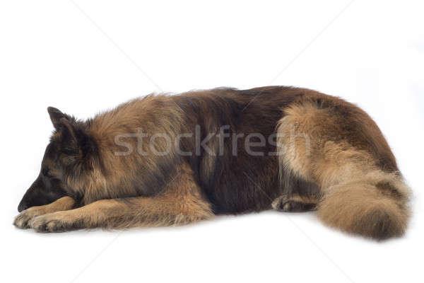 Hond slapen geïsoleerd witte haren Stockfoto © AvHeertum