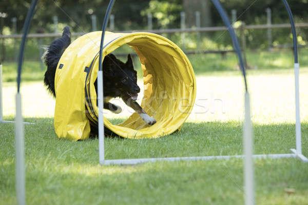 Dog, Border Collie, running through agility tunnel Stock photo © AvHeertum