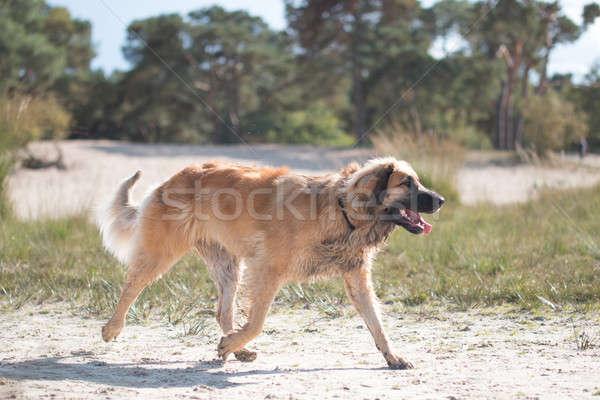 Hond lopen zand natuur zomer groene Stockfoto © AvHeertum