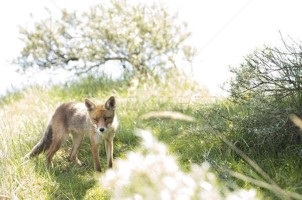 Red fox, standing and looking in camera Stock photo © AvHeertum