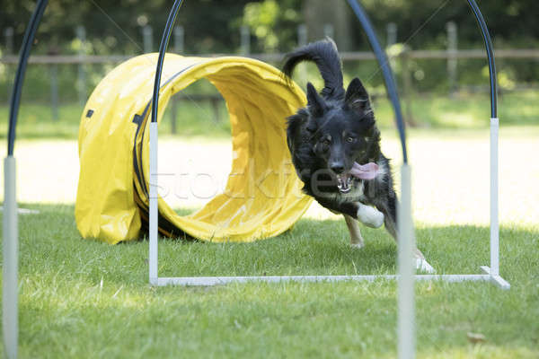 Dog, Border Collie, running agility hoopers Stock photo © AvHeertum
