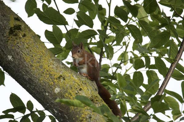 Kırmızı sincap oturma ağaç ahşap doğa Stok fotoğraf © AvHeertum