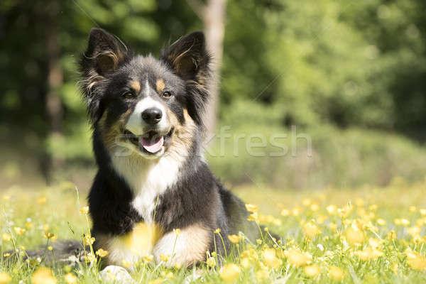 Kutya juhászkutya fű sárga virágok haj portré Stock fotó © AvHeertum