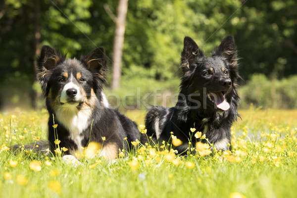 Two dogs, Border Collie, lying in grass with yellow flowers Stock photo © AvHeertum