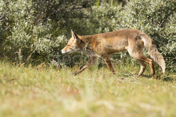 Piros róka vadászat szemek természet szépség Stock fotó © AvHeertum