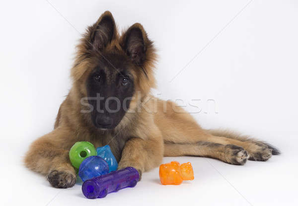 Belgian Shepherd Tervuren puppy with colored toys, white studio  Stock photo © AvHeertum