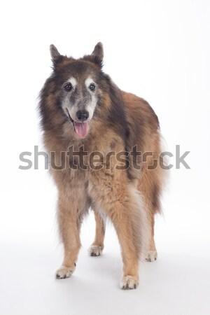 Köpek ayakta beyaz stüdyo portre Stok fotoğraf © AvHeertum