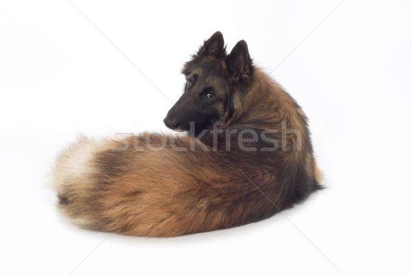 Hond naar Maakt een reservekopie geïsoleerd witte Stockfoto © AvHeertum
