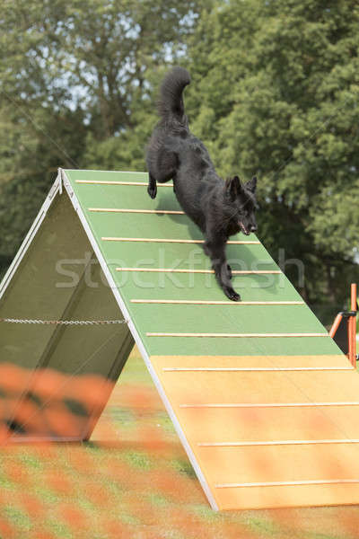 Dog, Belgian Shepherd Groenendael, running down agility a-frame Stock photo © AvHeertum