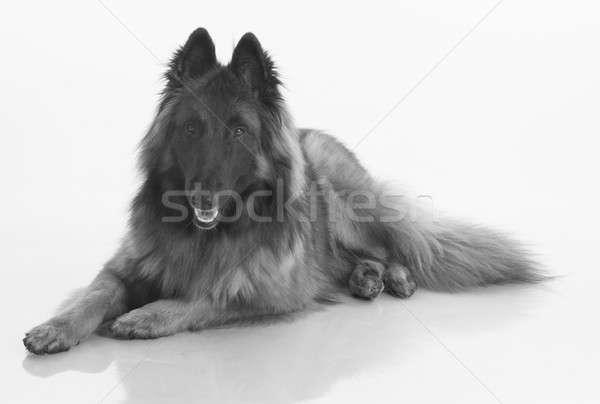 Kutya belga juhászkutya izolált feketefehér fényes fehér Stock fotó © AvHeertum