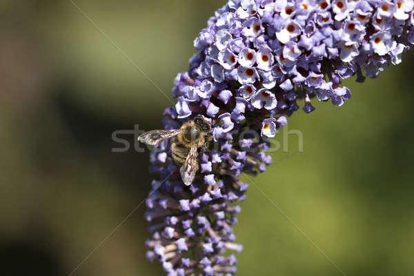 Mel de abelha roxo borboleta arbusto macro fotografia Foto stock © AvHeertum