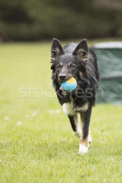 Hond border collie lopen bal haren portret Stockfoto © AvHeertum