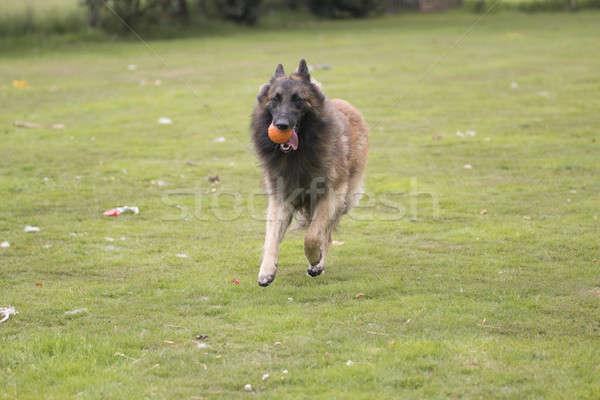 Hond haren oranje lopen mond Stockfoto © AvHeertum