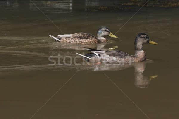 Two wild ducks swimming Stock photo © AvHeertum