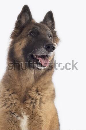 Dog, Belgian Shepherd Tervuren, headshot, isolated Stock photo © AvHeertum