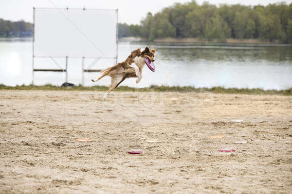 Stockfoto: Hond · border · collie · schijf · mond · portret · jonge
