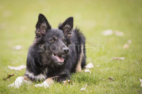 Dog, Border Collie, lying in grass Stock photo © AvHeertum