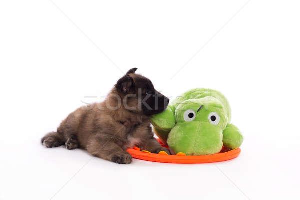 Belgian Shepherd Tervuren puppy with green toy, white studio bac Stock photo © AvHeertum