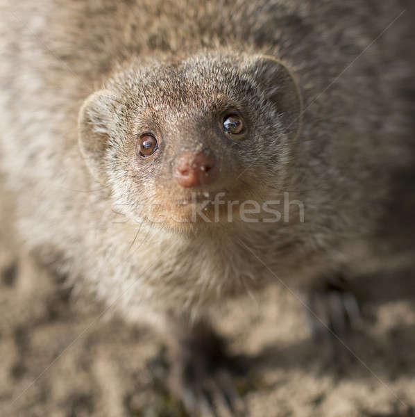 Curious meerkat Stock photo © AvHeertum