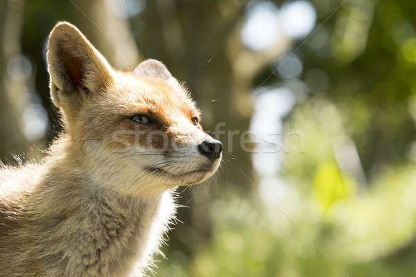 Red fox, close-up head Stock photo © AvHeertum