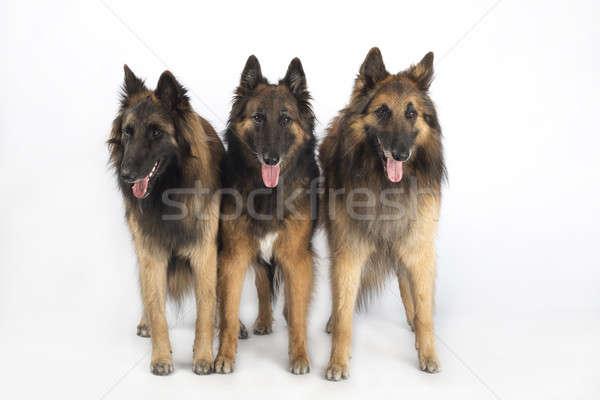 Tre cani pastore belga piedi isolato bianco Foto d'archivio © AvHeertum