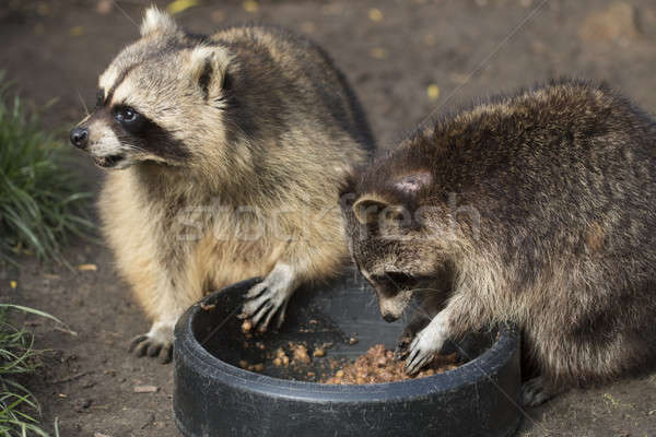 Two raccoons eating Stock photo © AvHeertum