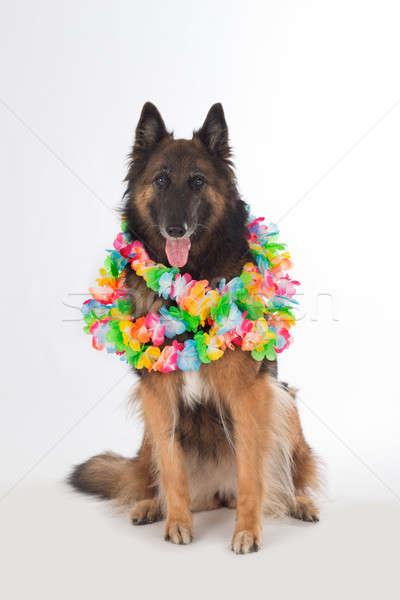 Dog sitting with colored garlands, isolated Stock photo © AvHeertum