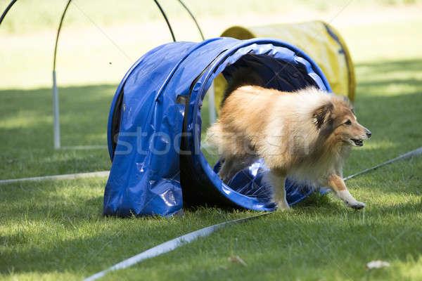 Perro ejecutando túnel campo Foto stock © AvHeertum