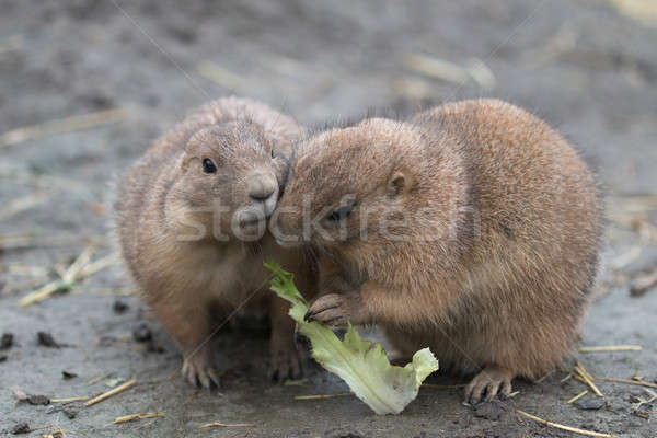 two prairy dogs eating Stock photo © AvHeertum