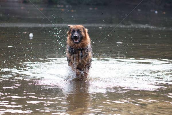 Dog, German Shepherd, running in water Stock photo © AvHeertum