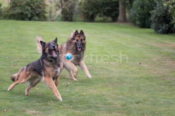 Iki köpekler çalışma top çim köpek Stok fotoğraf © AvHeertum